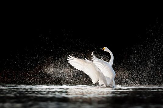 wild-swans-program